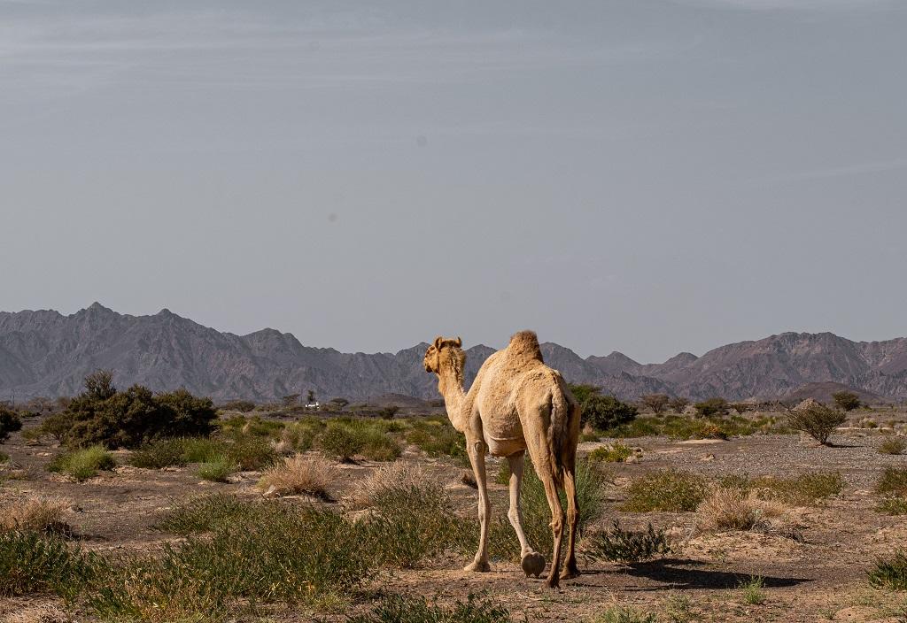 Kamel in der Steinwüste